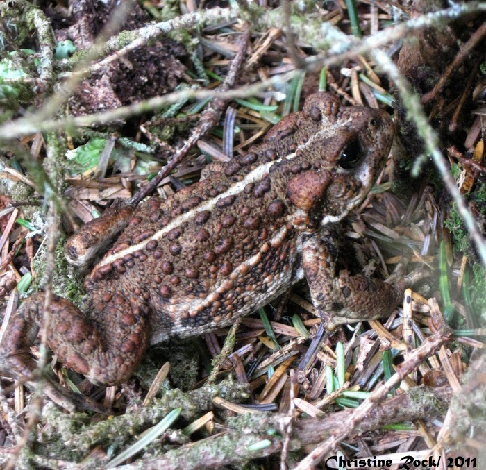 Christine Rock_Western Toad copy