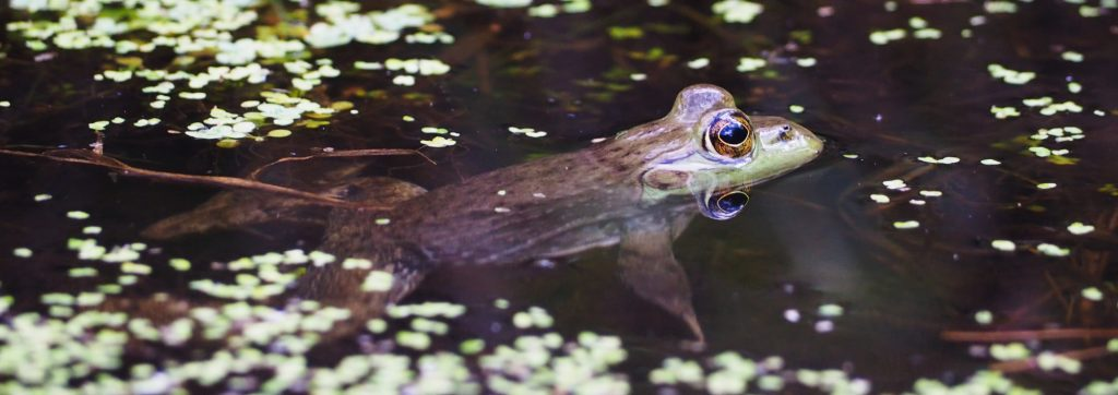 A frog partially submerged in water at Deer Lake Park